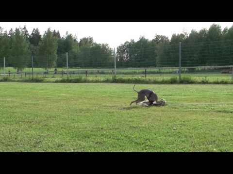 Italian Greyhounds at track racing practice