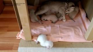 Тайские котята в двухнедельном возрасте уже стремятся выйти из гнезда! Тайские кошки - это чудо! Fun