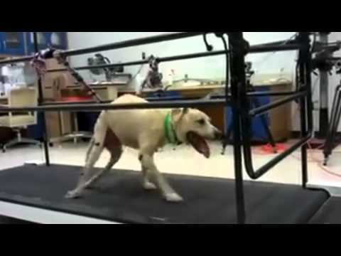 One of A Kind Treatment Could Help Paralyzed Dogs Walk Again