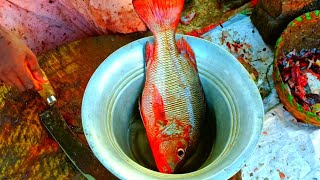 RS.800 $ 10.86 / Red Snapper/Karva Fish Cutting / India Fish Market / CT 360*