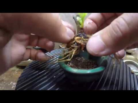 I Am Groot How To Root Prune For Mame Bonsai Trees Pots