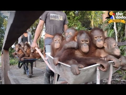 Thumbnail: Rescued Animals Get To Be FREE for the FIRST TIME | The Dodo Showcase