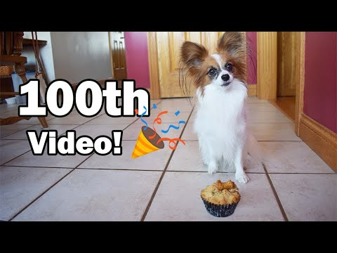 Our 100th Video! // Percy the Papillon Dog