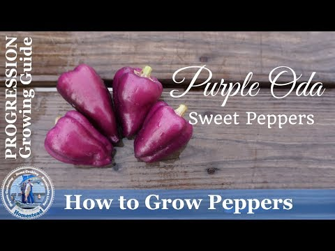How to Grow Peppers  (PROGRESSION)  Growing Guide – Purple Oda Peppers