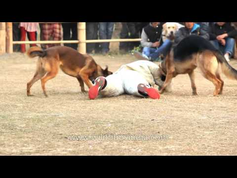 Highly-trained German Shepherds paraded at Manipur Dog Show