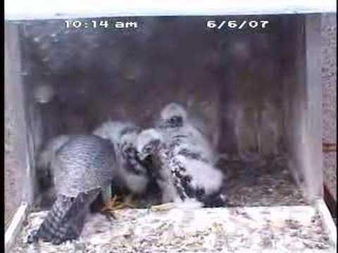 Peregrine Falcon Chicks Feeding Youtube