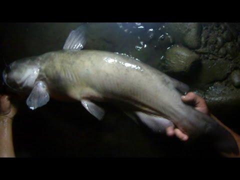 Bait Fishing #55 - Big Channel Catfish Dam Fishing With Rotten Chicken