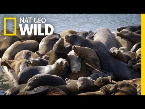 Sea Lions of San Francisco | United States of Animals