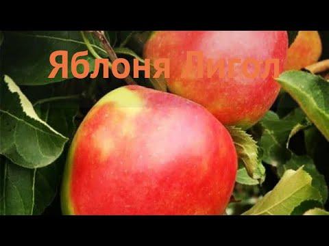 Яблоня средний Лигол (yablonya-ligol) 🌿 средний яблоня Лигол обзор: как сажать, саженцы яблони Лигол