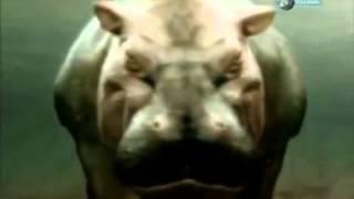 Duelo Animal Tiburón Vs Hipopotamo
