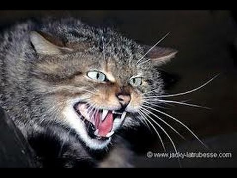 Chat qui miaule tout le temps pour sortir