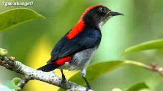 Kicau Burung Cabai Merah - Chirp of Bird