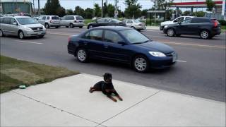 My Obedient Dog - Down-stay Around Traffic