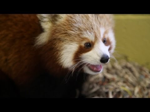 Red Panda's Plight: Cute and Endangered