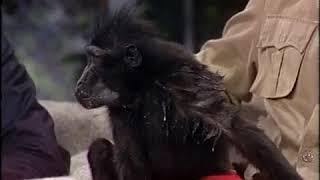 Carson vs. Doc, the Celebes Ape