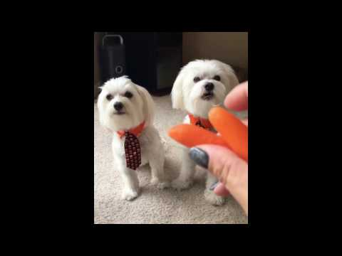 Maltese barking and growling compilation
