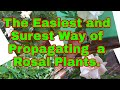 Amazing Way of Propagating a Rosal Plant