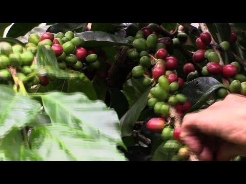 Central America's new coffee buzz: renewable energy