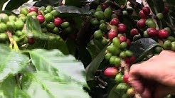 Central America's new coffee buzz: renewable energy
