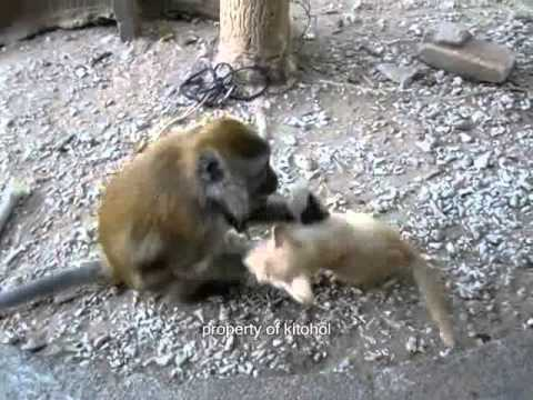 baby monkey and kitten