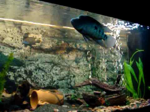 My amazing 35cm green texas cichlid youtube for Buy texas fishing license online