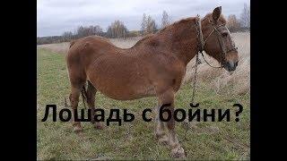 Спасение лошади с бойни. Возможные проблемы