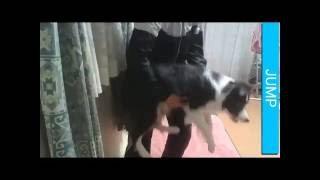 ボーダーコリーアルちゃんの特技は、ジャンプ!!JUMP!! 抱っこもジャンプ...