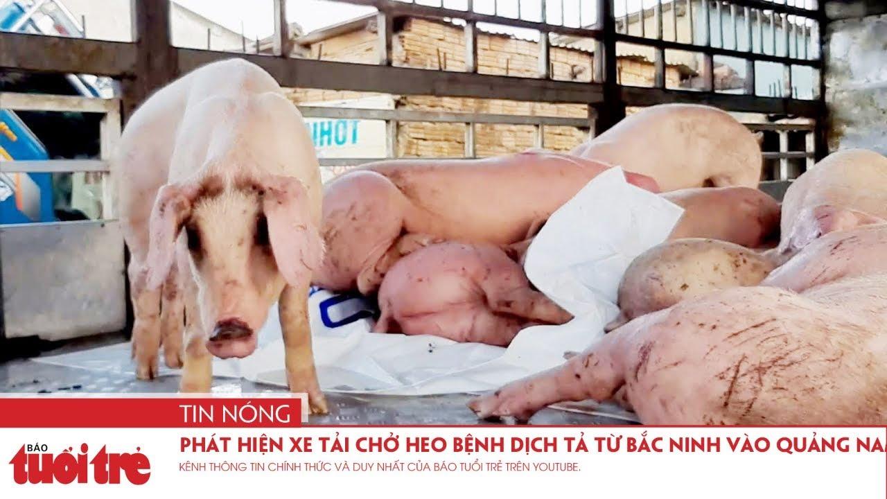 Phát hiện xe tải chở heo bệnh dịch tả từ Bắc Ninh vào Quảng Nam tiêu thụ