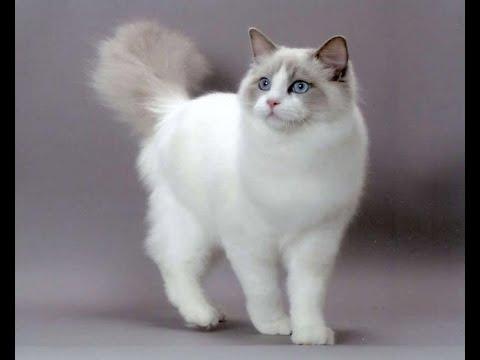 Kucing Ragdoll Cat Short Hair Youtube