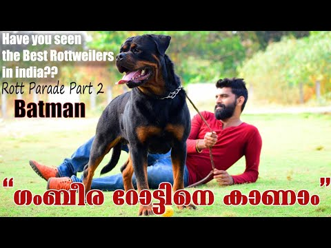 BATMAN OF THE LITTLE GODFATHER || The Best RottWeilers in India  ||Rott Parade -Part 2