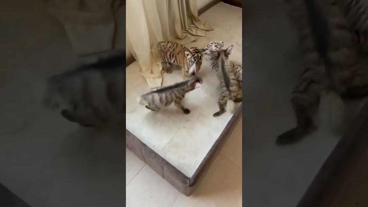 lion cub ❤️ tiger cub ❤️ hyena cub ❤️