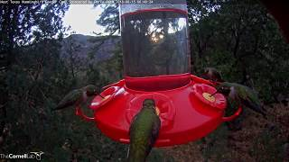 Male Broad-tailed Hummingbirds Forage With A Flash – June 15, 2018 thumbnail