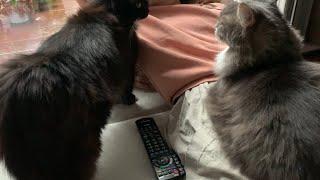 甘えたくて飼い主を独占する猫 ノルウェージャンフォレストキャット A cat that wants to be spoiled and monopolizes its owner