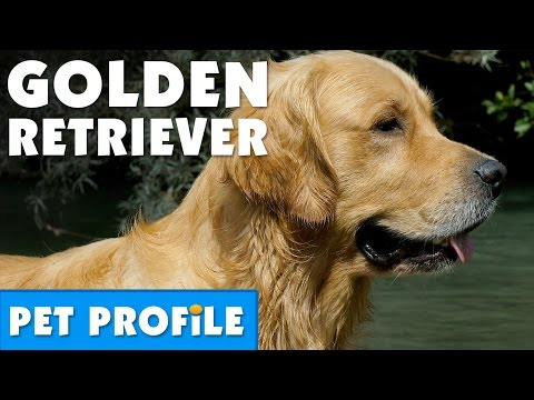 Golden Retriever Pet Profile | Bondi Vet