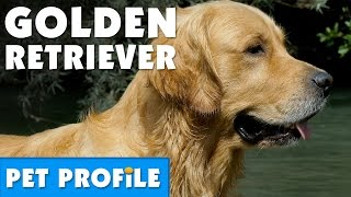 Golden Retriever Pet Profile | Bondi Vet