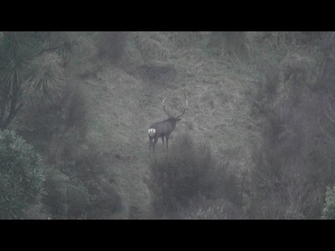 Sika stags rutting and roaring, Blair gets a 187