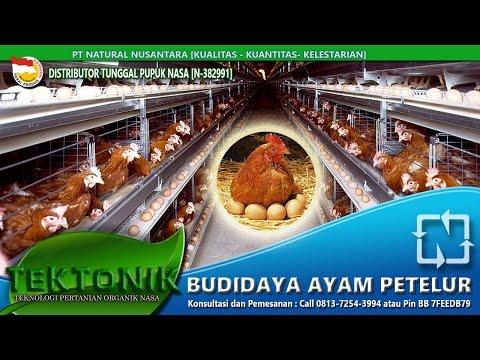 Ayam Petelur usia 6 bulan menghasilkan 550 lebih dengan cara budidaya VITERNA,POC ,Hormonik