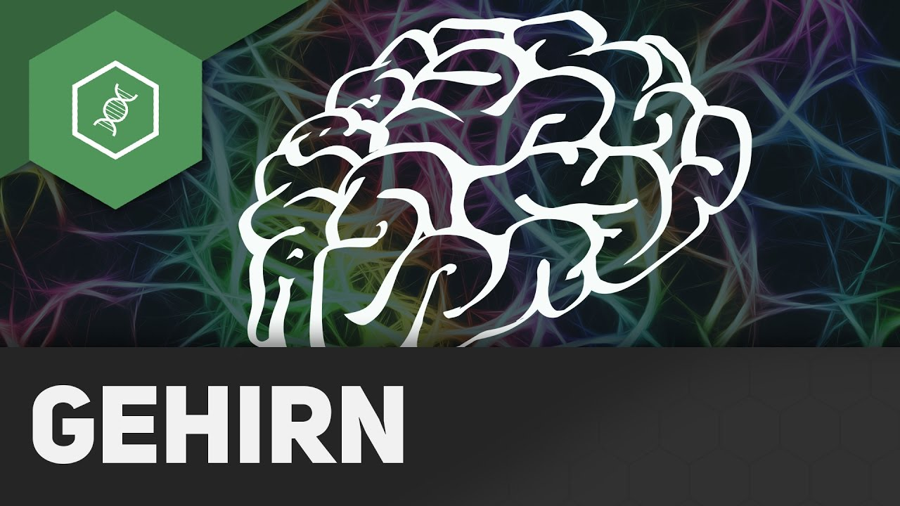 Das Gehirn - Zentrales Nervensystem (ZNS) - YouTube
