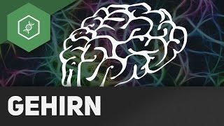 Das Gehirn - Zentrales Nervensystem (ZNS)