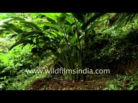 Spice plantations in Kerala