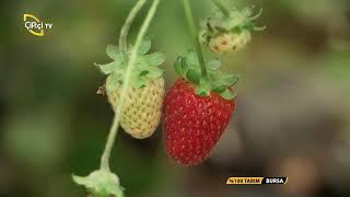 % 100 Tarım-Topraksız Çilek Yetiştiriciliği