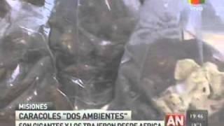 Achatina fulica - Caracol Gigante Africano en Puerto Iguazú, Misiones, República Argentina