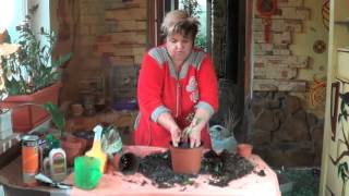 видео Бугенвиллия уход в домашних условиях