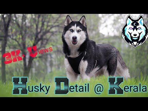 Siberian Husky Detail At Kerala Barking Price Detail Kerala