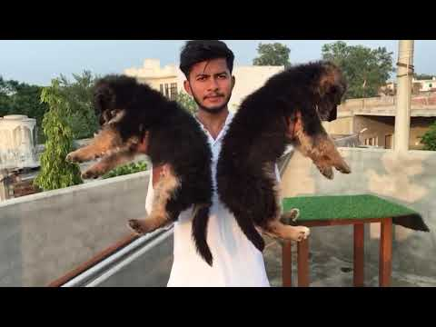 German shepherd male and female show quality sale dogs hub India 99503 30009
