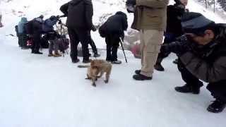Baby Snow Monkeys playing around at Jigokudani Yaen-koen Snow Monkey Park, Nagano, Japan - GoPro