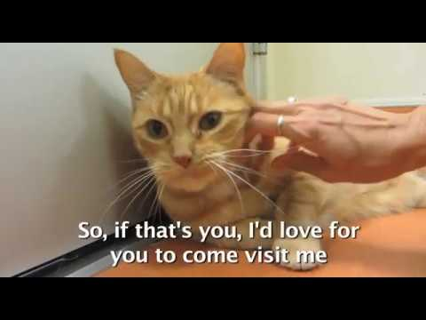 Asimov, 11-year old spayed female cat with a short, orange tabby and white coat