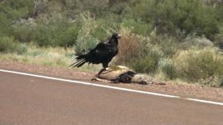 Giant Eagle!!!
