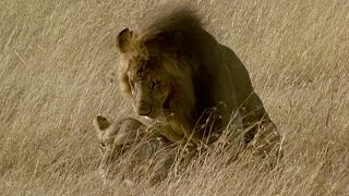 Brutal Lion Infanticide and Mating  - Battle of the Sexes In The Animal World - BBC