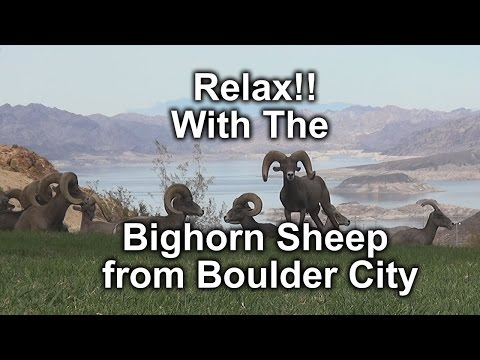 Relax!!  With The Bighorn Sheep of Boulder City